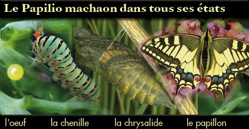 http://www.bio-creation.com/blog/wp-content/uploads/2008/04/montage-machaon1.jpg