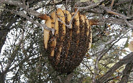 essaim-ruche