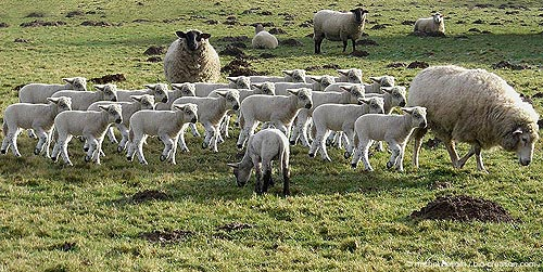 agneau cloné