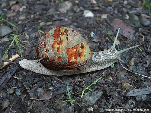 escargot-rouillé