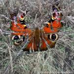 papillon déchiré