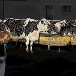 troupeau sous blister