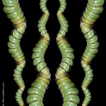brahmaea-nymphose