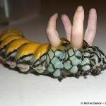 brahmaea-chenille doigts