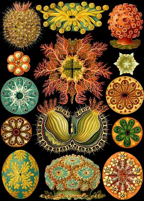 ascidiae