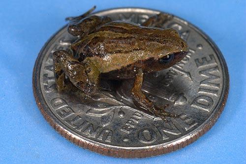 Noblella-pygmaea
