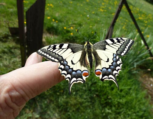 papilio-machaon