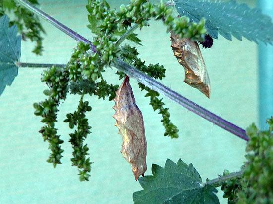 Chrysalides d'Aglais urticae