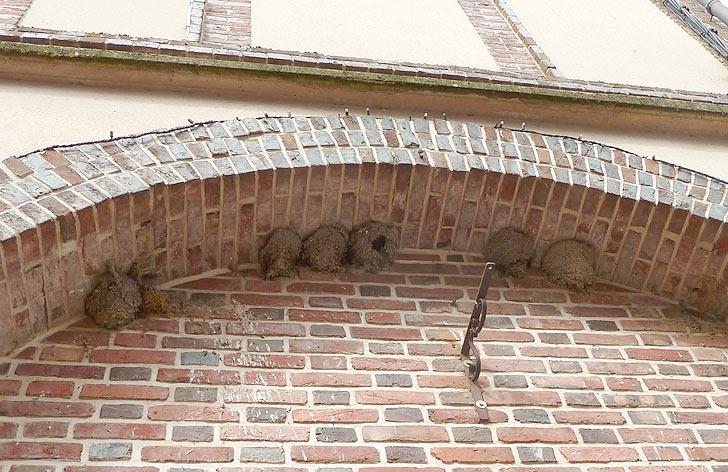 nids d'hirondelles