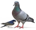 Pigeonhirondelle