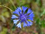 bleuet des champs - Centaurea cyanus