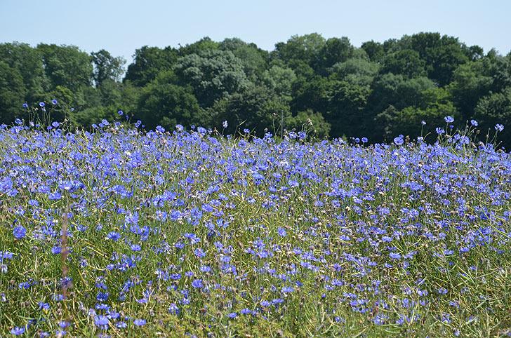 champ de bleuets