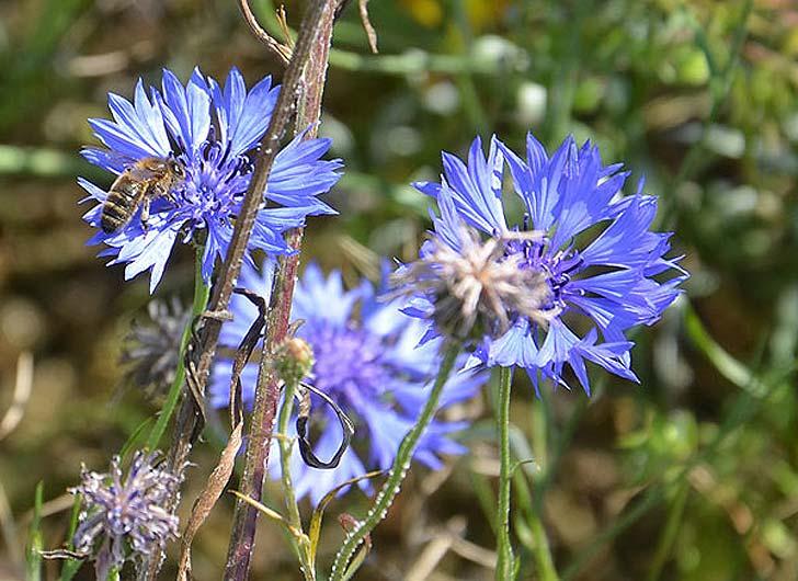 abeille butinant un bleuet