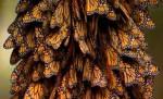 rassemblement de papillons monarques