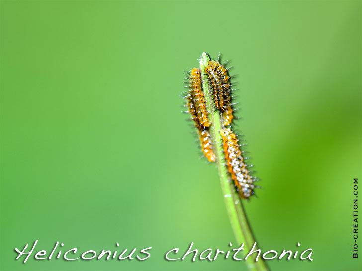 chenilles néonates d'heliconius charithonia