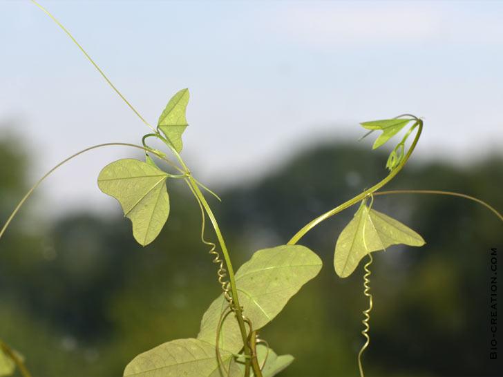 passiflore biflora