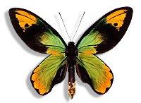 ornithoptera victoria
